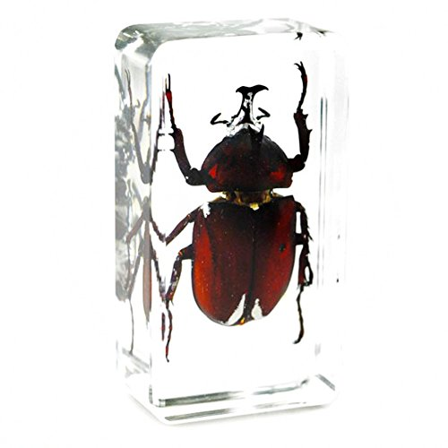 QTMY Biology Science World Collection of Real Insect Specimen Paperweight for Kids Education Toy (Allomyrina dichotoma(Linnaeus))
