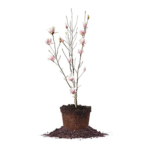 ALEXANDRINA Magnolia Tree - Size: 3 Gallon, Live Plant, Includes Special Blend Fertilizer & Planting Guide by PERFECT PLANTS (Image #8)