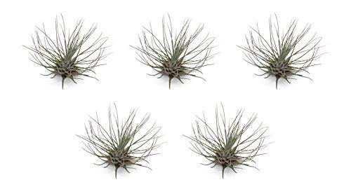 5 Pack Tillandsia Fuchsii v Gracilis Air Plants by CTS Air Plants