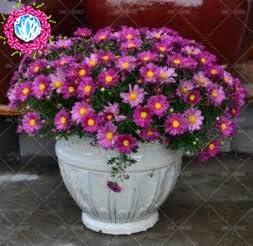100pcs / bag cubre suelos semillas crisantemo, crisantemo bonsai semillas de flores perenne margarita planta para el jardín de 4 macetas: Amazon.es: Jardín
