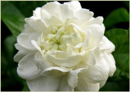 Arabian Jasmine Plant''Grand Duke of Tuscany'' - Fragrant Plant - 6'' Pot by Thai Greenhouse (Image #9)