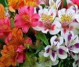 Peruvian Lily DR.SALTER'S Mix Alstroemeria Ligtu - 60 Bulk Seeds