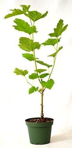 Dwarf Black Mulberry 4 Pot Fruits Live Plant Tree Outdoor Garden Best Gift ()