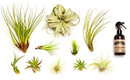 Hinterland Trading Air Plant Collector\'s Edition Set
