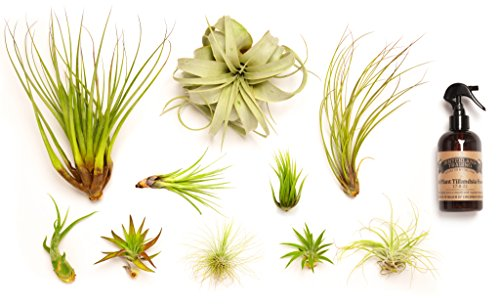 Hinterland Trading Air Plant Collector's Edition Set