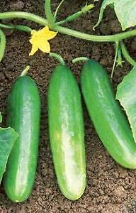 Cucumber Bush Pickle 1,000 Seeds