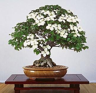 Chinese Kousa Dogwood 10 Seeds - Cornus - Tree/Bonsai