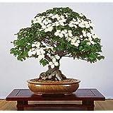 Chinese Kousa Dogwood 10 Seeds - Cornus - Tree/Bonsai