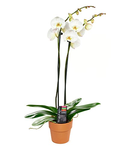 KaBloom Live Orchid Plant Collection: White Phalaenopsis Orchid Plant (18-24 Inches Tall) (2 Stems) in a Terracotta Clay Pot by KaBloom