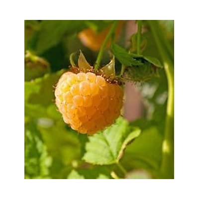 2 Fall Gold - Raspberry Plant - All Natural Grown - Ready for Fall Planting : Garden & Outdoor