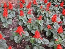 (Scarlet Sage (Salvia Coccinea) attracts butterflies and hummingbirds -1000 Seeds)