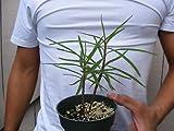 Euphorbia Lambii Succulent Rare -2 Plants Plant