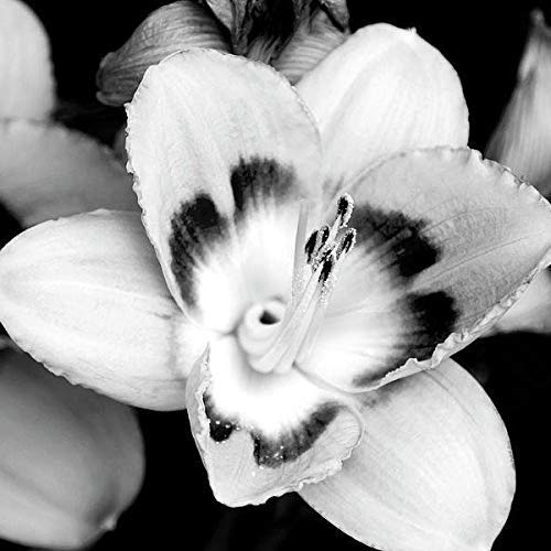 Lily Flower Black And White Botanical Large Floral Wall Decor Fine Art Nature Photography Print
