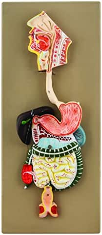 EISCO Human Digestive System Model, 2 Parts, Hand Painted