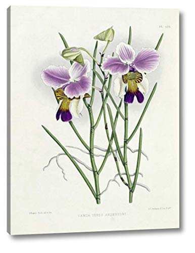 The Orchid Album Plate 475 by Robert Warner - 11