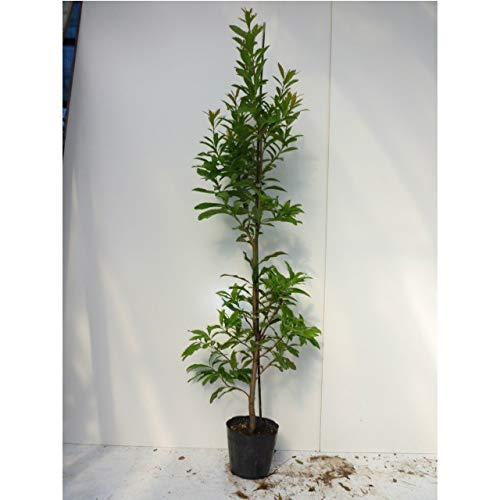【15本セット】 ヤマモモ 樹高0.8m前後 15cmポット 山桃 やまもも 苗木 植木 苗 庭木 生け垣 B07HFN9CX4