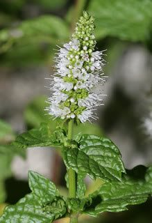 500 SPEARMINT (English Mint) Mentha Spicata Herb Flower Seeds