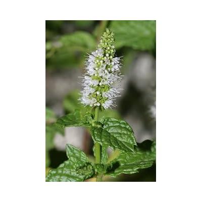 500 SPEARMINT (English Mint) Mentha Spicata Herb Flower Seeds : Herb Plants : Garden & Outdoor