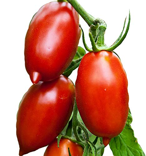 30+ ORGANICALLY GROWN Amish Paste Tomato Seeds Heirloom NON-GMO, Low Acid, Indeterminate, Open-Pollinated, Sweet and Heavy-Yielding, From USA