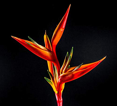 (Home Comforts Peel-n-Stick Poster of Strelitzia Red Orange Flower Yellow Bloom Blossom Vivid Imagery Poster 24 x 16 Adhesive Sticker Poster Print)