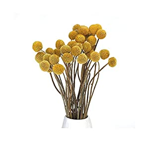 """30 Stems Dried Craspedia Flowers Decorative Preserved Billy Balls Dry Bouquet for Wedding Floral Arrangements, 20"""" -24"""" Tall Home Decorations 3"""