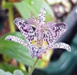 Japanese Toad Lily 20 Seeds/Seed -Tricyrtis