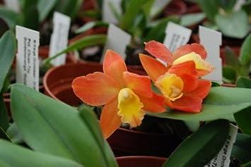1 blühfähige Orchidee der Sorte Epidendrum radicans Orchideen 12cm Topf