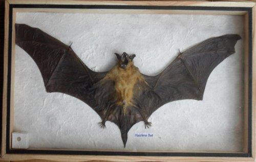REAL HAIRLESS BAT Insect Taxidermy in wood box (Bat Globe)