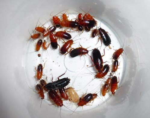 300 Red Runners Turkestan Cockroach Cricket Alternative Live Insect Feeder Mix Size
