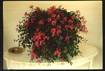 BATON ROUGE Patented Miniature Crape Myrtle, Pack of 5, Deep Red, Matures to 3'-4'( Shipped 1'-1.5' Tall, Well Rooted in Pot with Soil) by The Crape Myrtle Company (Image #2)