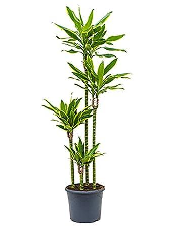 Drachenbaum Golden Coast große Zimmerpflanze wenig Licht ...