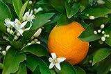 DWARF / GRAFTED Citrus Tree Collection: Pink Cara Cara Navel Orange, Meyer Le...