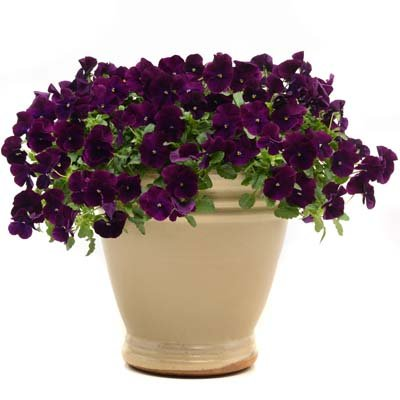 Trailing Pansy - Cool Wave Purple - Flower Seeds - 100 Seeds