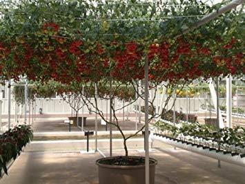 40 ITALIAN TREE TOMATO Trip-L-Crop Lycopersicon Lycopersicum Fruit Vegetable ()