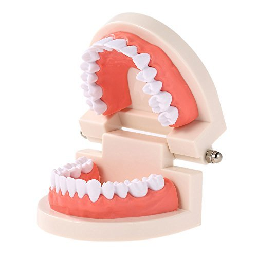 Dentures Dental teeth teaching model Adult Gums Standard Demonstration Tool for Kindergarten brushing teaching
