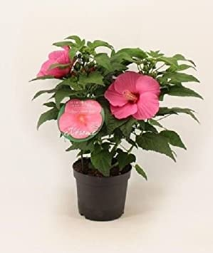 Hibiscus Moscheutos Extreme Pink Exotic Plant In A 23cm Pot