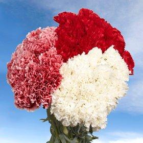 Long Stem Christmas Color Carnations | 300 Christmas Color Carnations Long by Global Rose (Image #2)