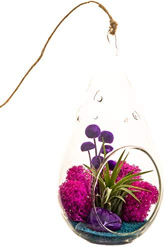 Pixie Glare Hanging Glass Terrariums – Set of Three, With Air Plants, Spanish Moss Reindeer Moss Amore