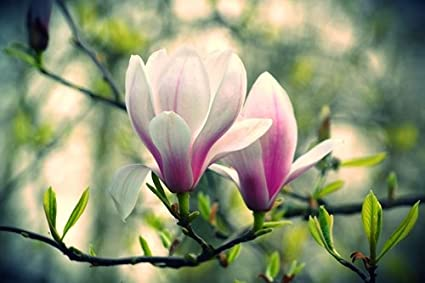 Amazoncom Pink And White Magnolia Flowers Art Print On Canvas