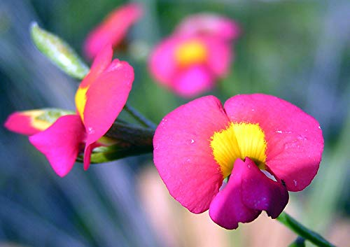 (50 Seeds Climbing Flame Pea - Chorizema diversifolium)