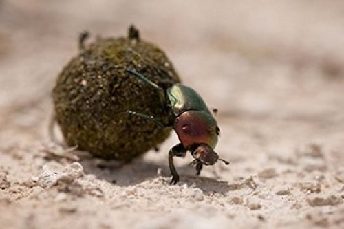 namibia-etosha-np-dung-beetle-insect-poster-print-by-paul-souders-24-x-15