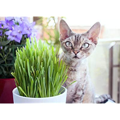 Heirloom Organic Cat Grass (Red Wheat Berry) 300 Seeds by AchmadAnam : Garden & Outdoor