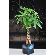 9GreenBox - Live Lucky 5 Braided Money Tree Into 1 Pachira with Handmade Ceramic Pot