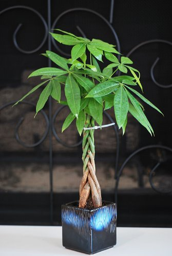 9greenbox – Live Lucky 5 Braided Money Tree Into 1 Pachira with Handmade Ceramic Pot Plants Lucky for 2012
