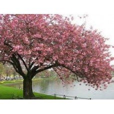 Cherry Blossom - French Scent - 2689 - Premium Fragrance Oil - 2 oz - Candle Making, Soap Making, Home and Office Diffusers, Hair and Body ()
