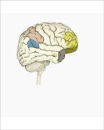 Amazon 10x8 Print Of Digital Illustration Of Parietal Lobe