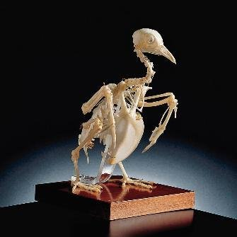 654470 - Wardï¾'S Pigeon Skeleton - Ward's Pigeon Skeleton - Each ()