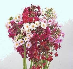 Primula japonica Mix (Redfield Hybrids) 1,000 seeds