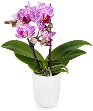 Just Add Ice JAI203 Mini Orchid, Unique