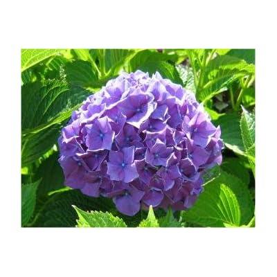 Hydrangea, Purple Hydrangea Seeds - Treasuresbylee - 50 : Garden & Outdoor